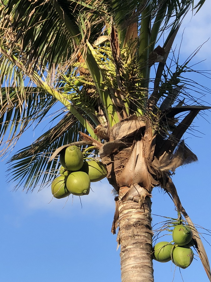 blue marlin cove coconuts in the grand bahamas